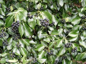 starobou sa listy brečtanu zmenia a pribudne aj vyzdoba jeho plodmi