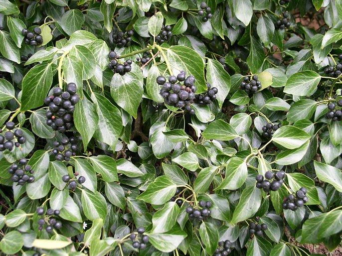 Zelene fasady - starobou sa listy brečtanu zmenia a pribudne aj vyzdoba jeho plodmi