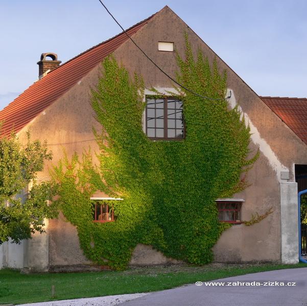 """Zelene fasady - dva korene paviniča stačia - rychlo sa """"rozlezie"""" po celej ploche"""