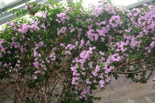 Zelene fasady - Bugenvilea - kúsok stredomoria. Ružové sú listy, jej kvietky sú miniatúrne a skoro vôbec ich nevidno