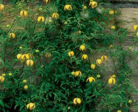 najkrajší žltý Clematis Bill MacKenzie
