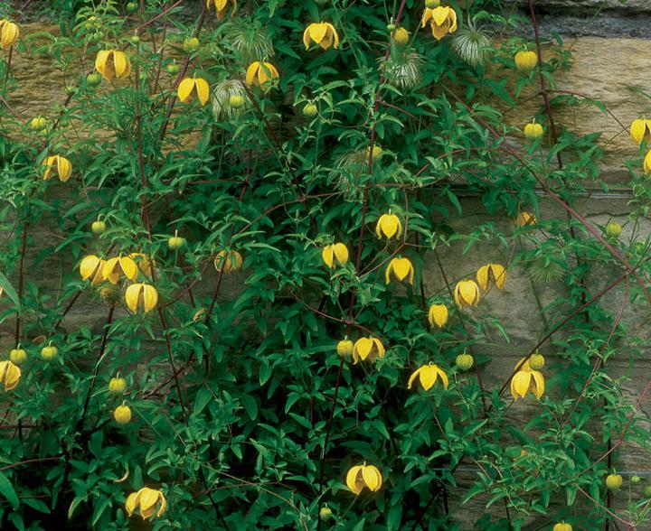 Zelene fasady - najkrajší žltý Clematis Bill MacKenzie