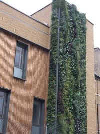 Zelene fasady - vysadene v 2009