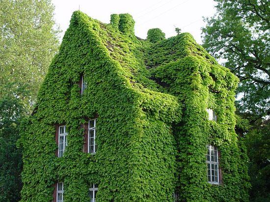 Zelene fasady - klasický zelený kožuštek