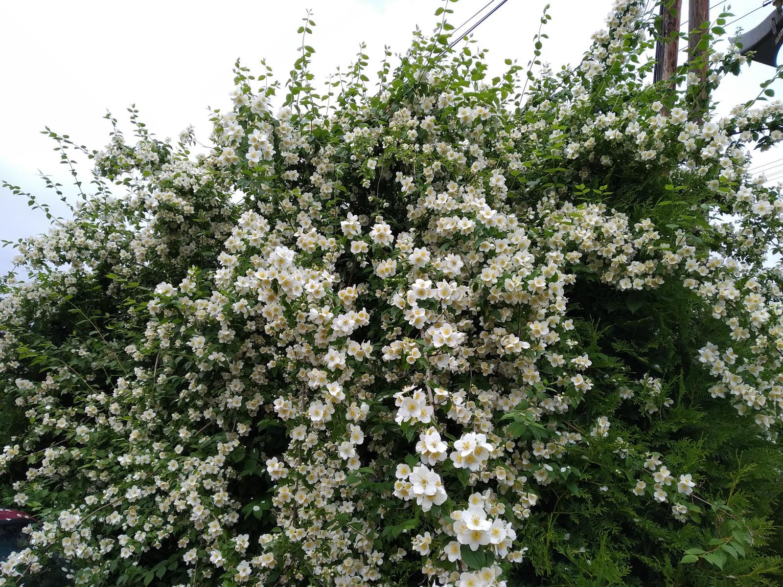 Babkina záhrada - Pajazmín