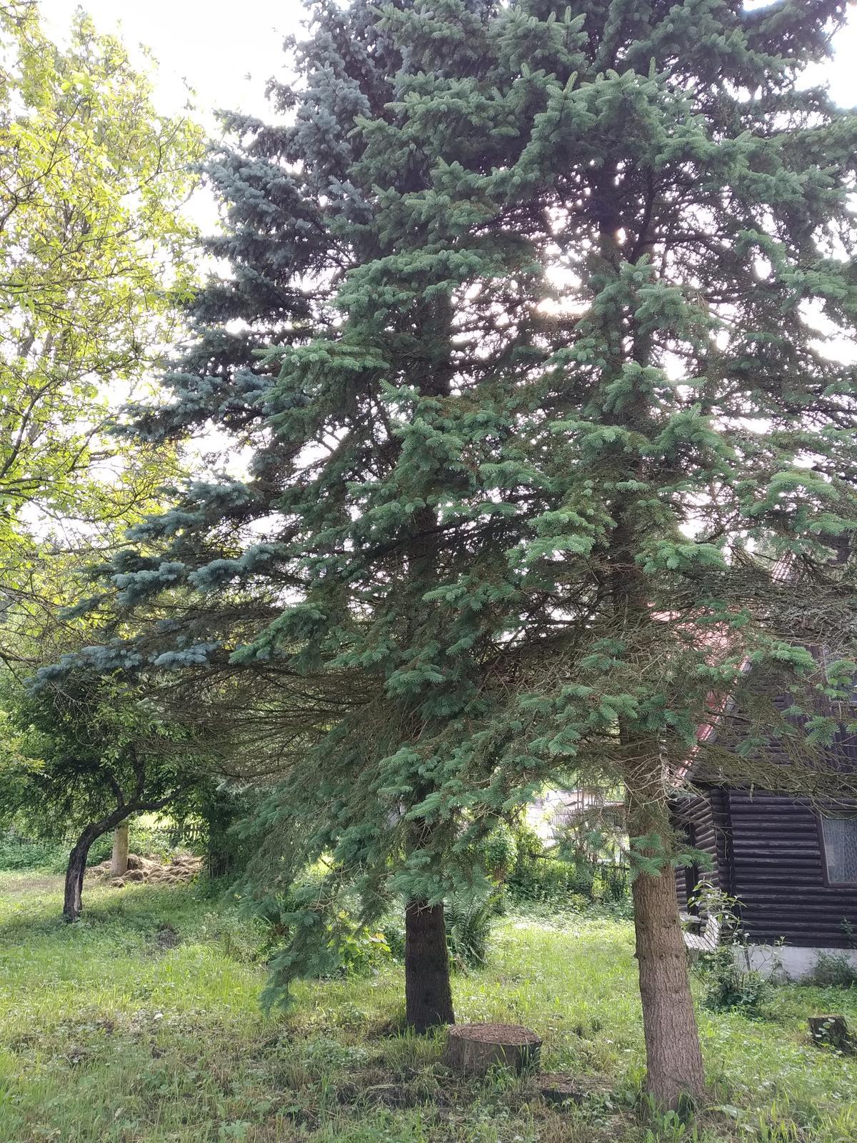 Babkina záhrada - Ihličňany