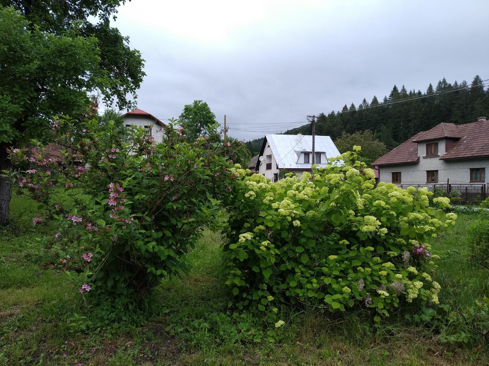 Babkina záhrada - Ak by ste mi nikto vedeli poradiť, ako skrotiť tú hortenziu...vďaka ;-)
