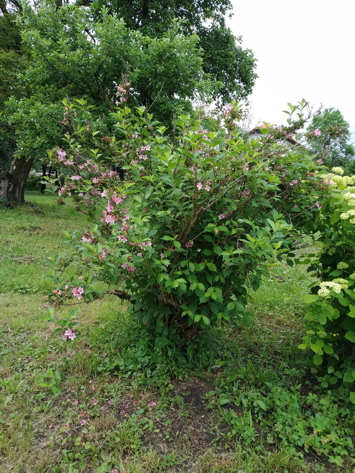 Babkina záhrada - Bledoružová vajgela