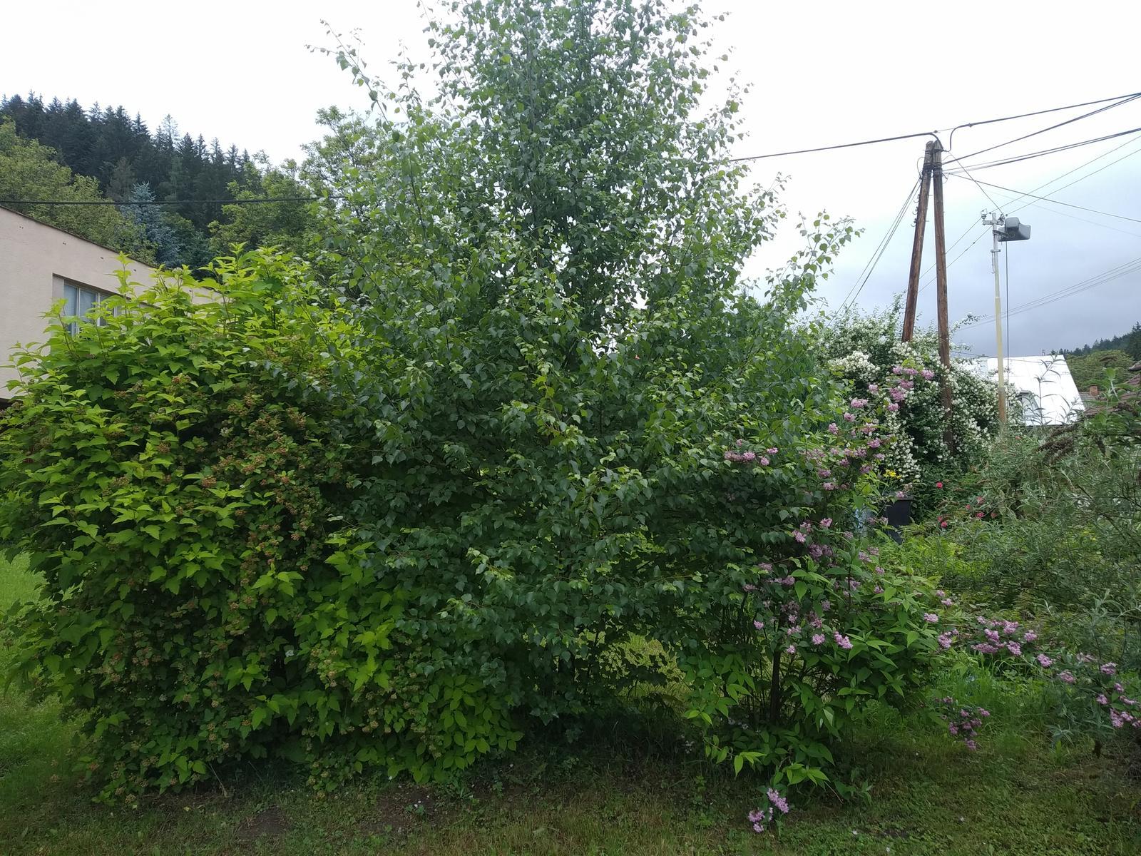 Babkina záhrada - Breza