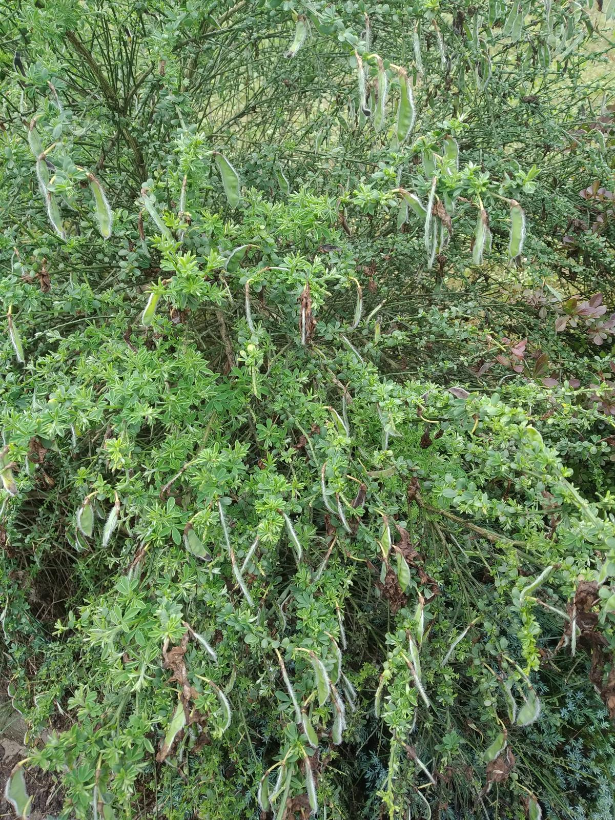 Babkina záhrada - Tu budú semienka;-)Žltá zanoväť