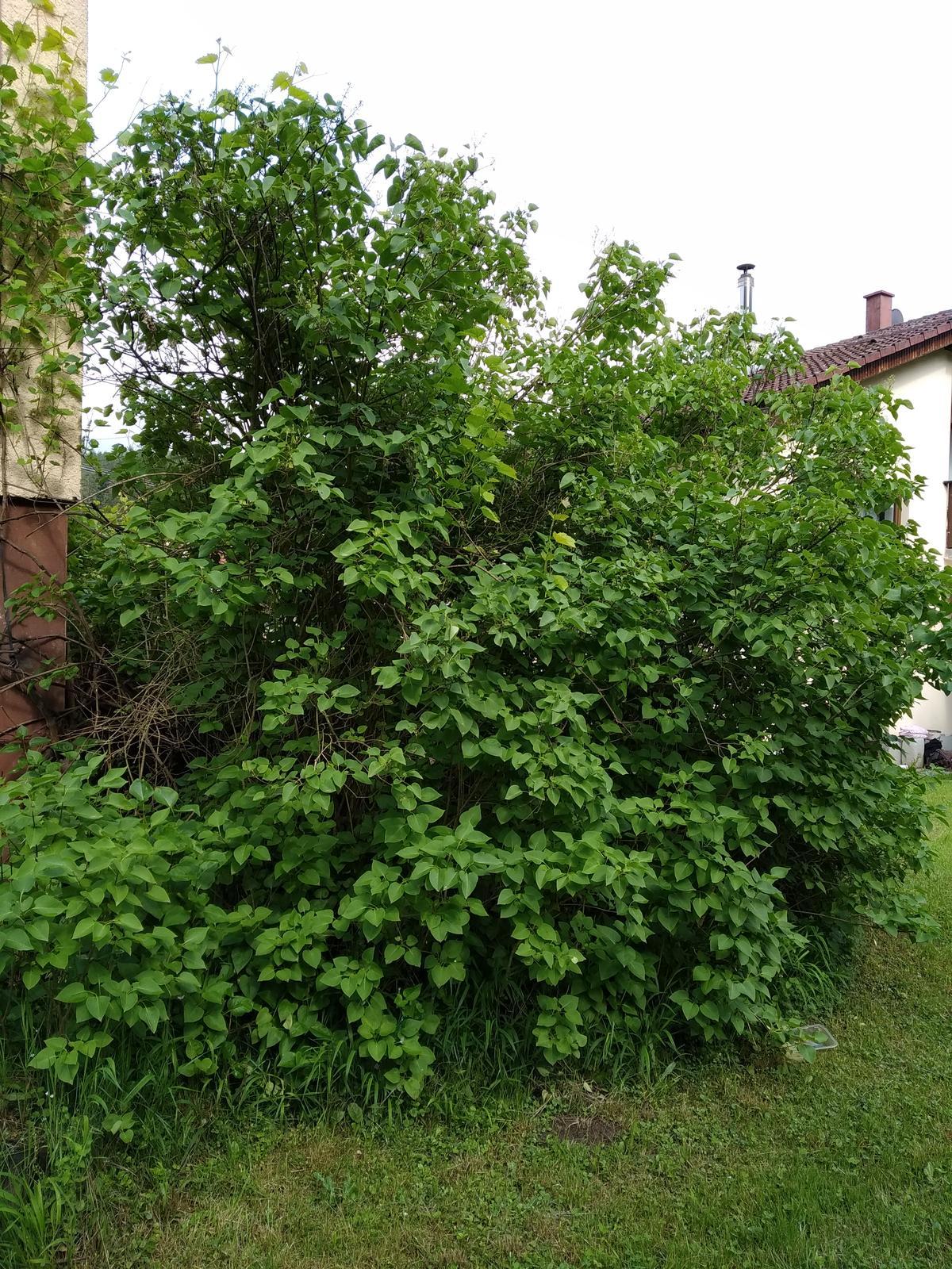 Babkina záhrada - Orgovány