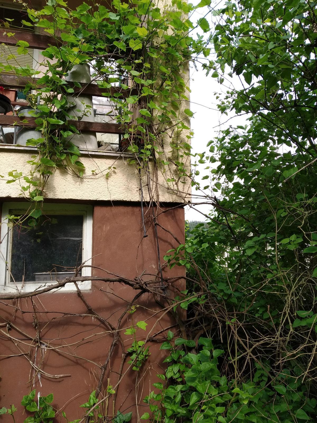 Babkina záhrada - Hrozno až na balkón