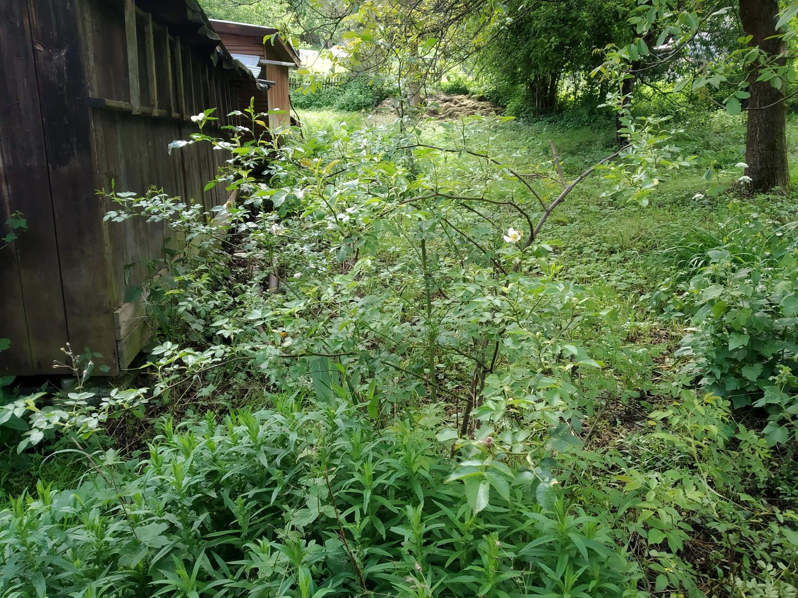 Babkina záhrada - Astrovka, vzadu šíp