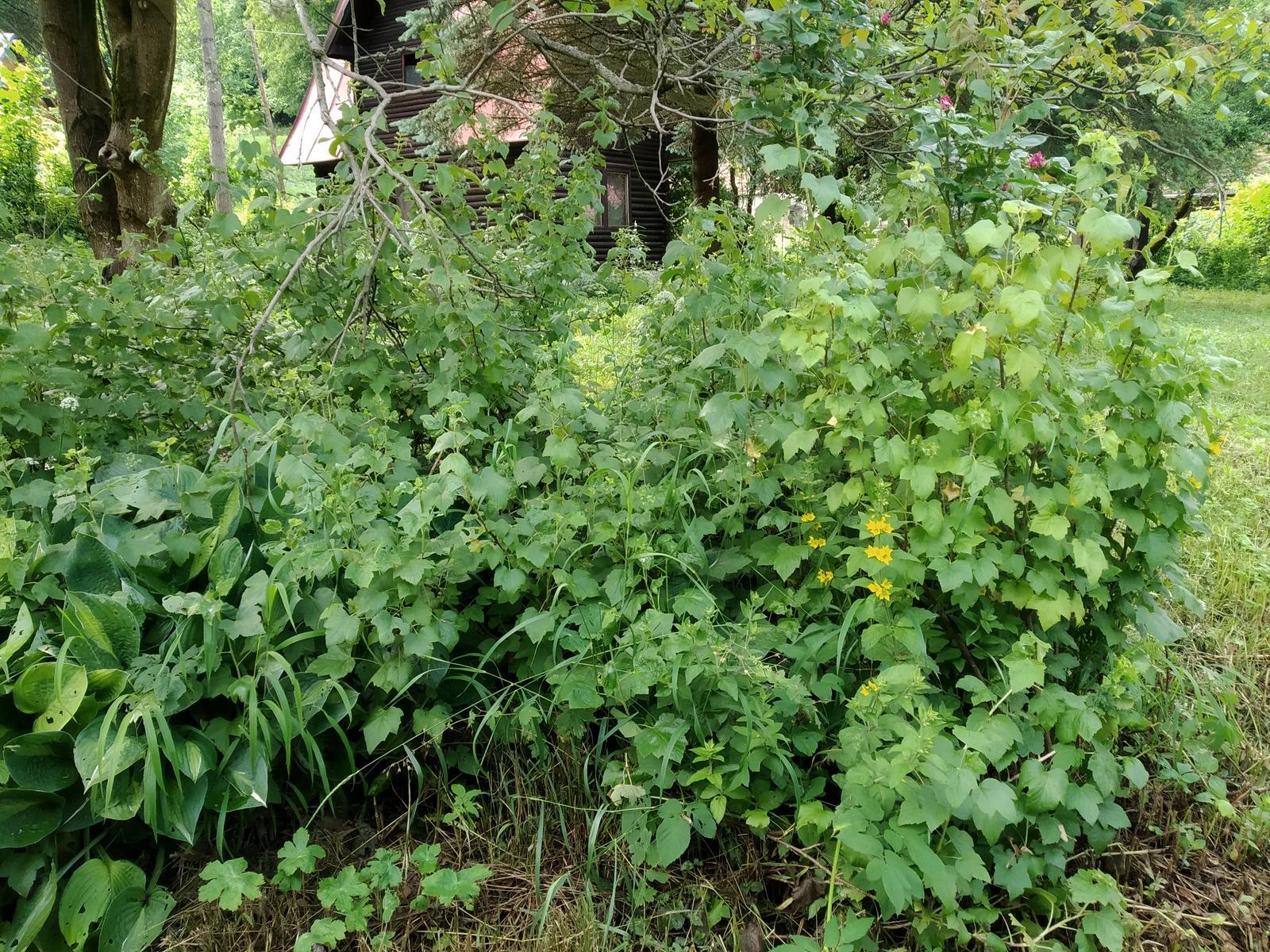 Babkina záhrada - Hlavne ríbezle:-D