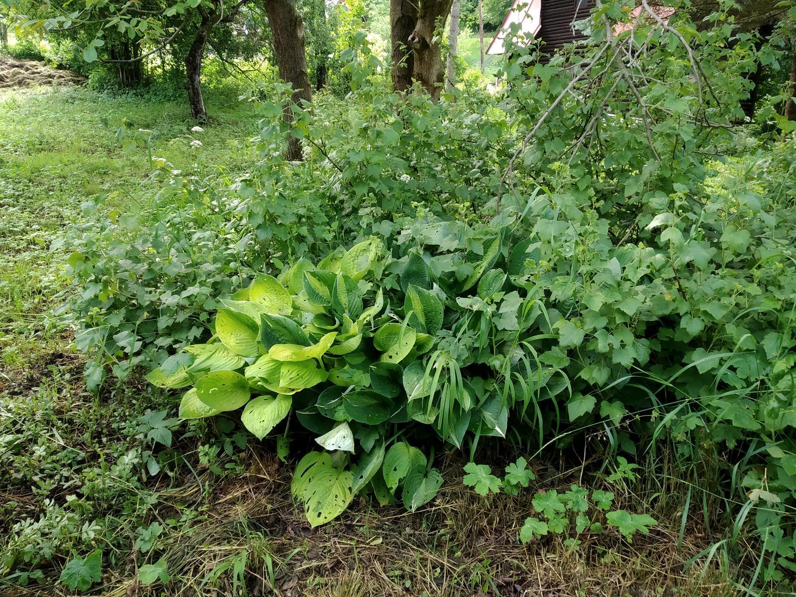 Babkina záhrada - Hosta