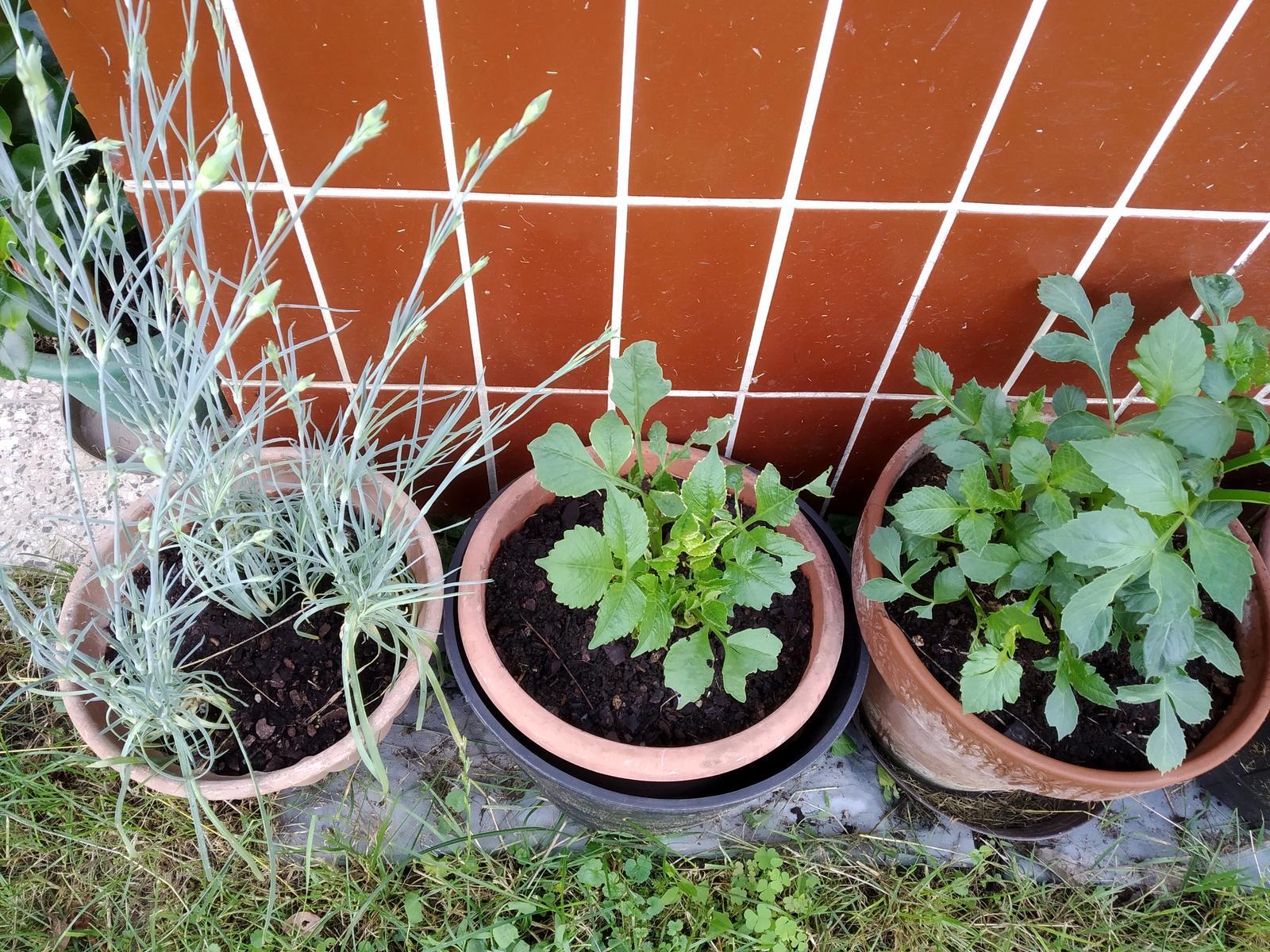 Babkina záhrada - Klinčeky a bordové dahlie