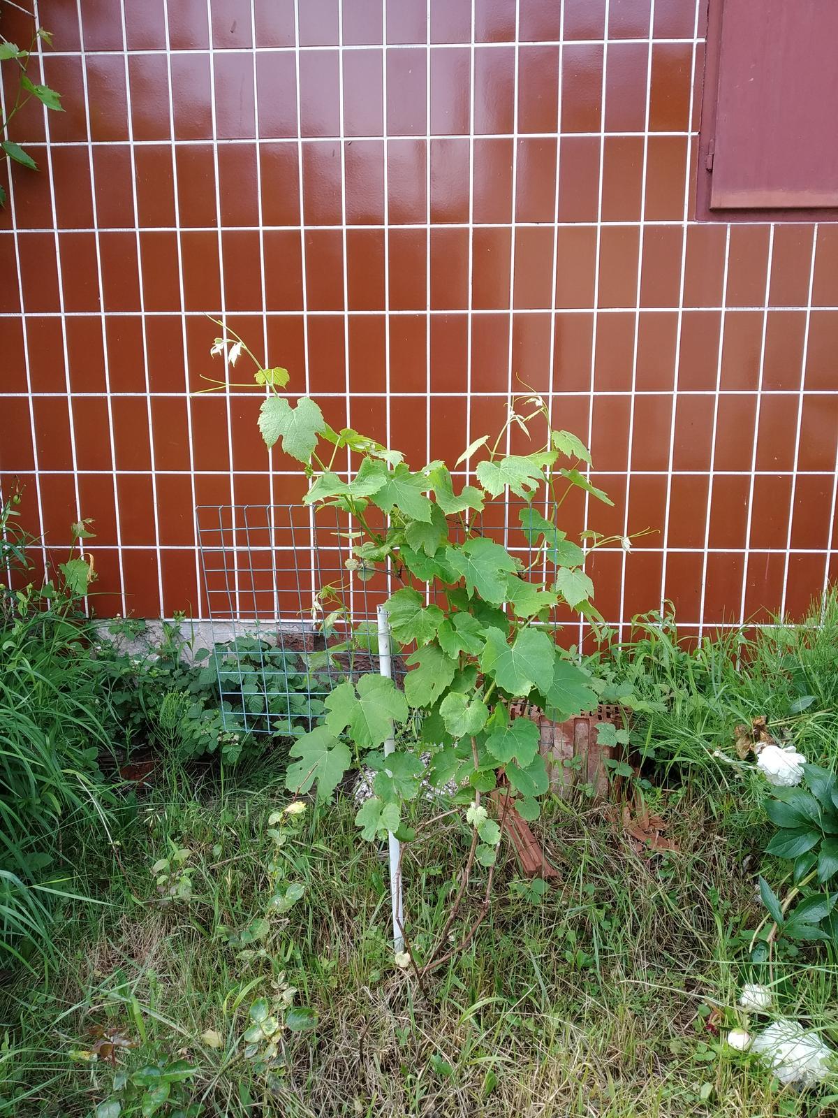 Babkina záhrada - Hrozno odložené pre mňa