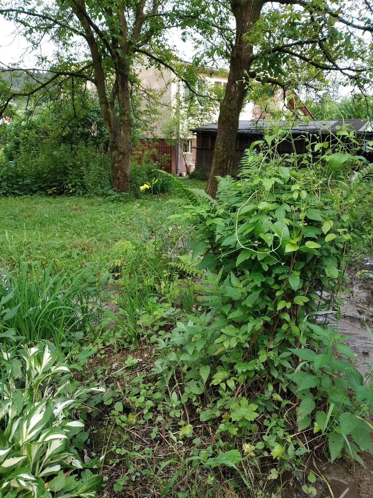 Babkina záhrada - Plamienok v tieni pri potôčiku