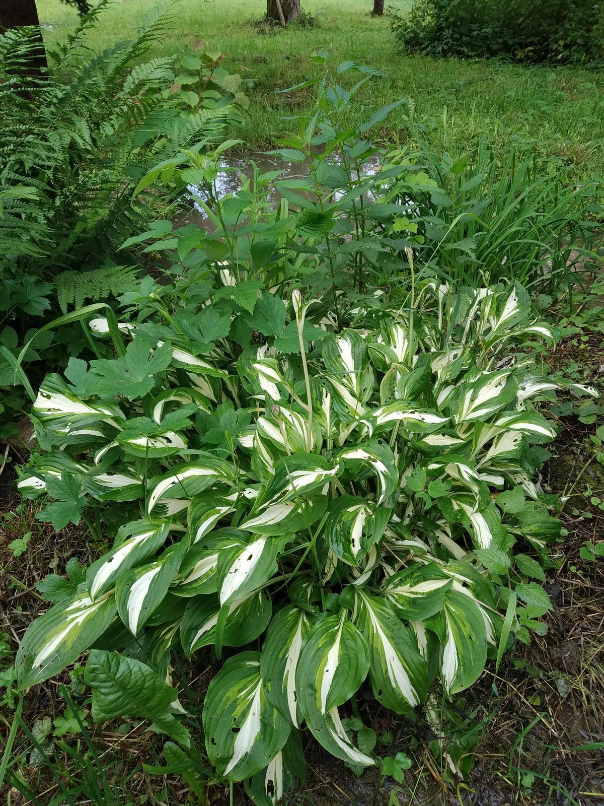 Babkina záhrada - Hosta a papraď pri potôčiku