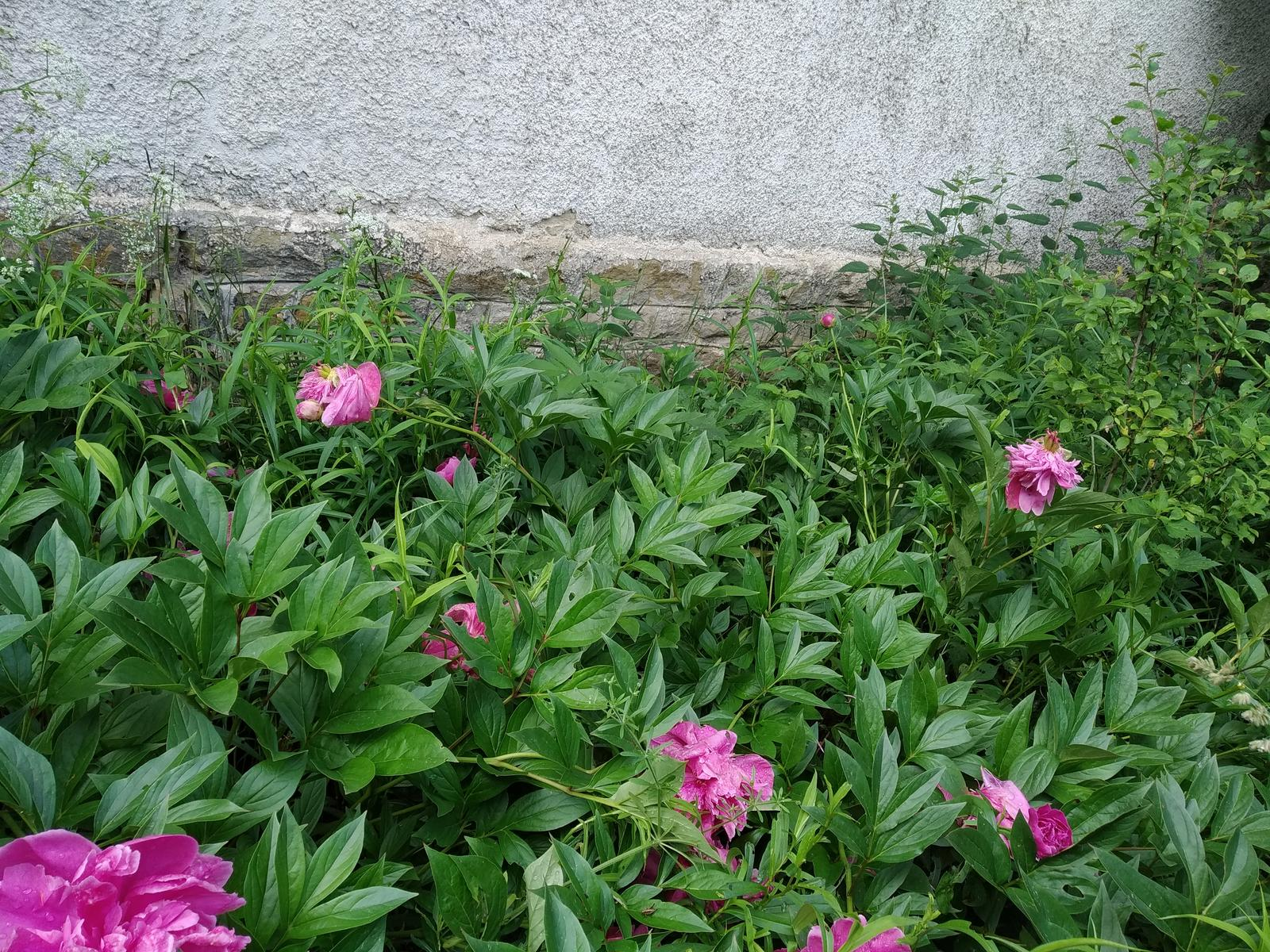 Babkina záhrada - Asi desať metrov súvislý porast pivoniek po prababke