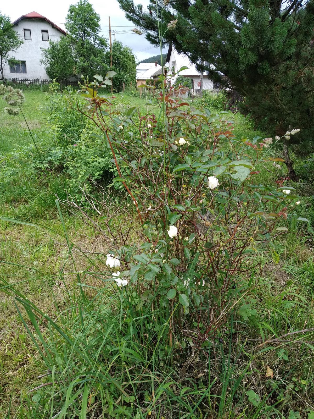 Babkina záhrada - Táto ruža má cca 40rokov