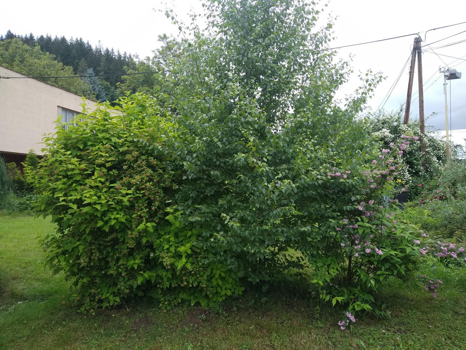 Babkina záhrada - Briezka a ružový trojpuk
