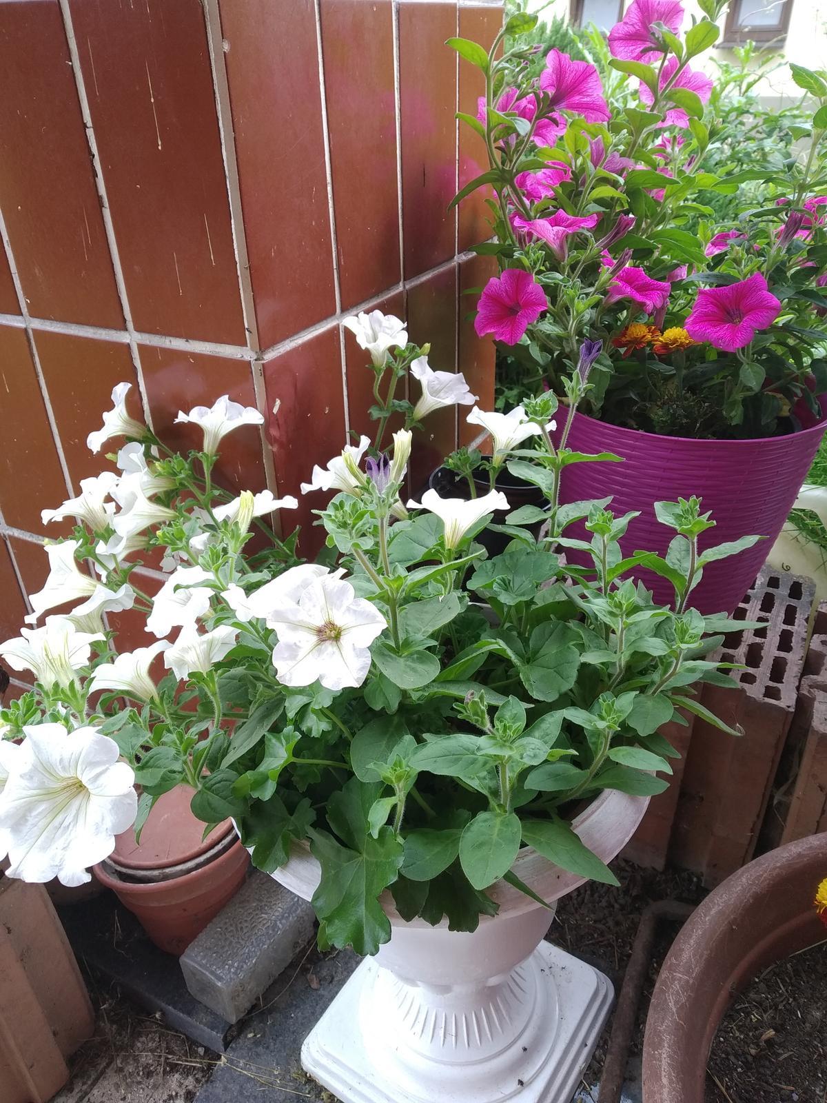 Babkina záhrada - Biele v bielom;-)Fialové vo fialovom