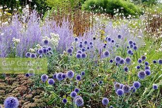 Echinops ritro 'Veitch's Blue' with Perovskia atriplicifolia 'Little Spire' and Sedum 'Matrona'