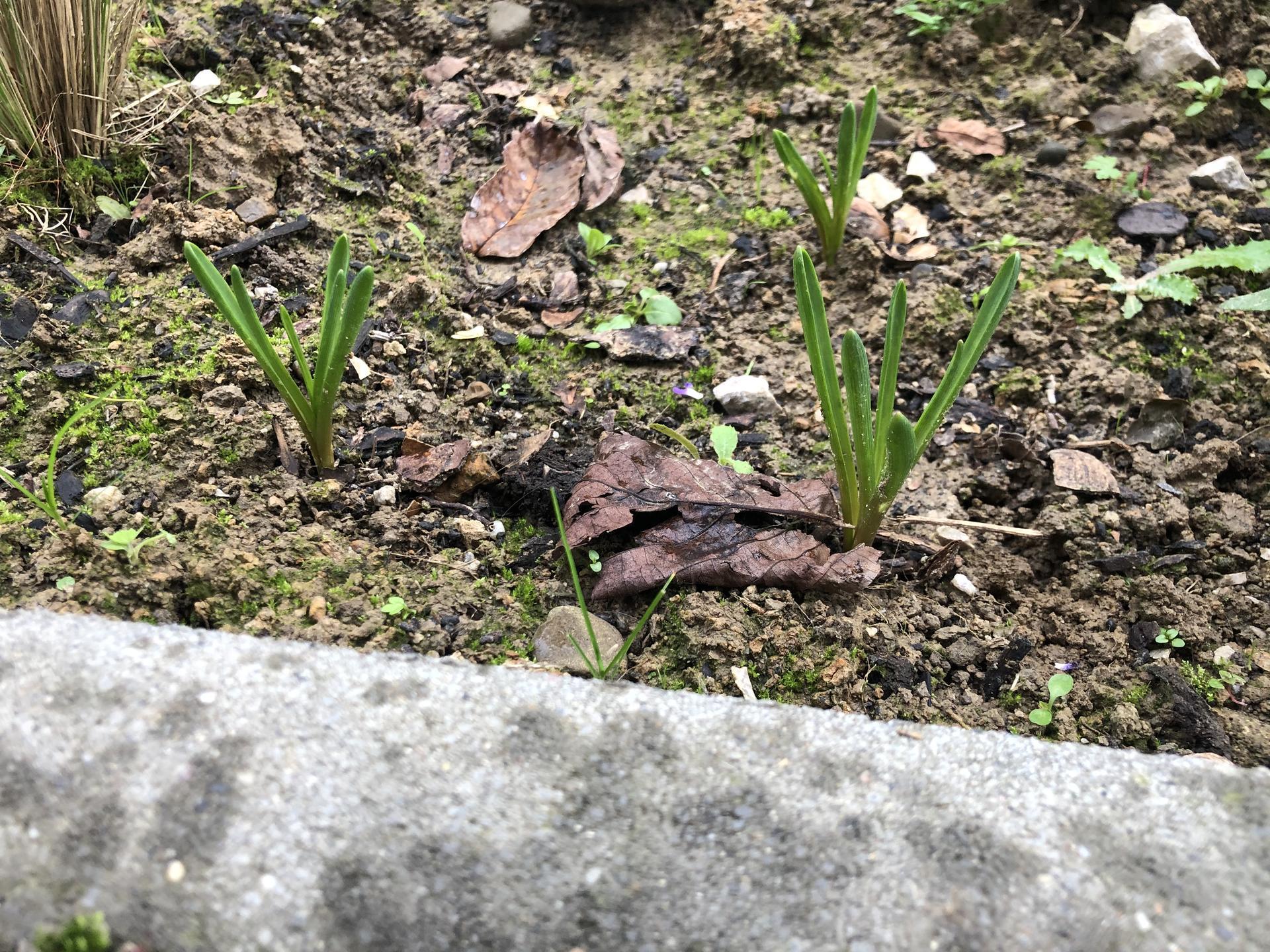 Zahradnice prosím o radu. 15. Září jsme vysadili mix jarních cibulovin ( tulipany,narcisy,modrence,sněženka) a ony začínají růst už teď! Co s tím ? :-o dekuji - Obrázek č. 1