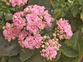 Kalanchoe,2 farby,