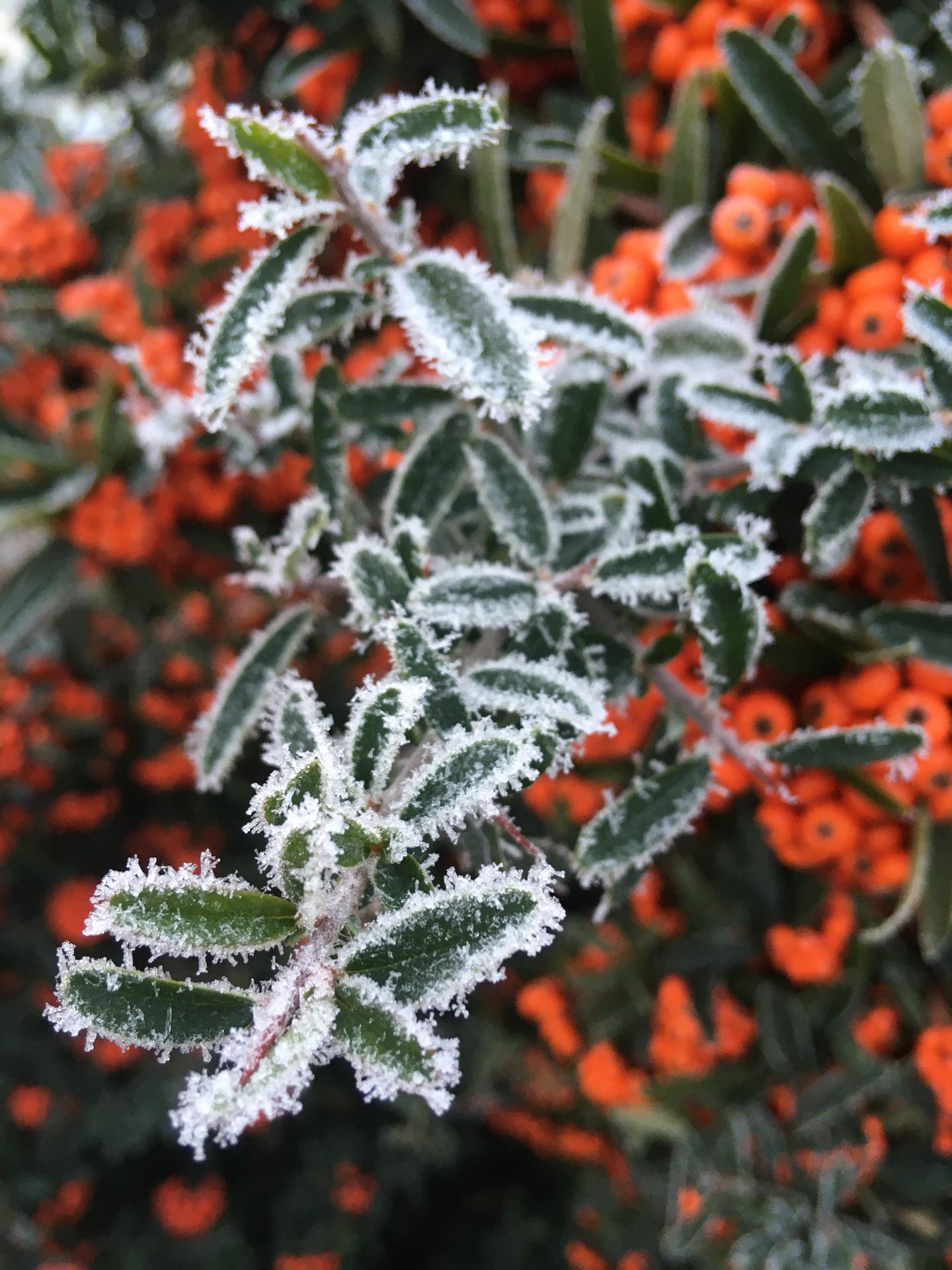 Zahrada 2020 - hlohyne - zimni krasavice 😊