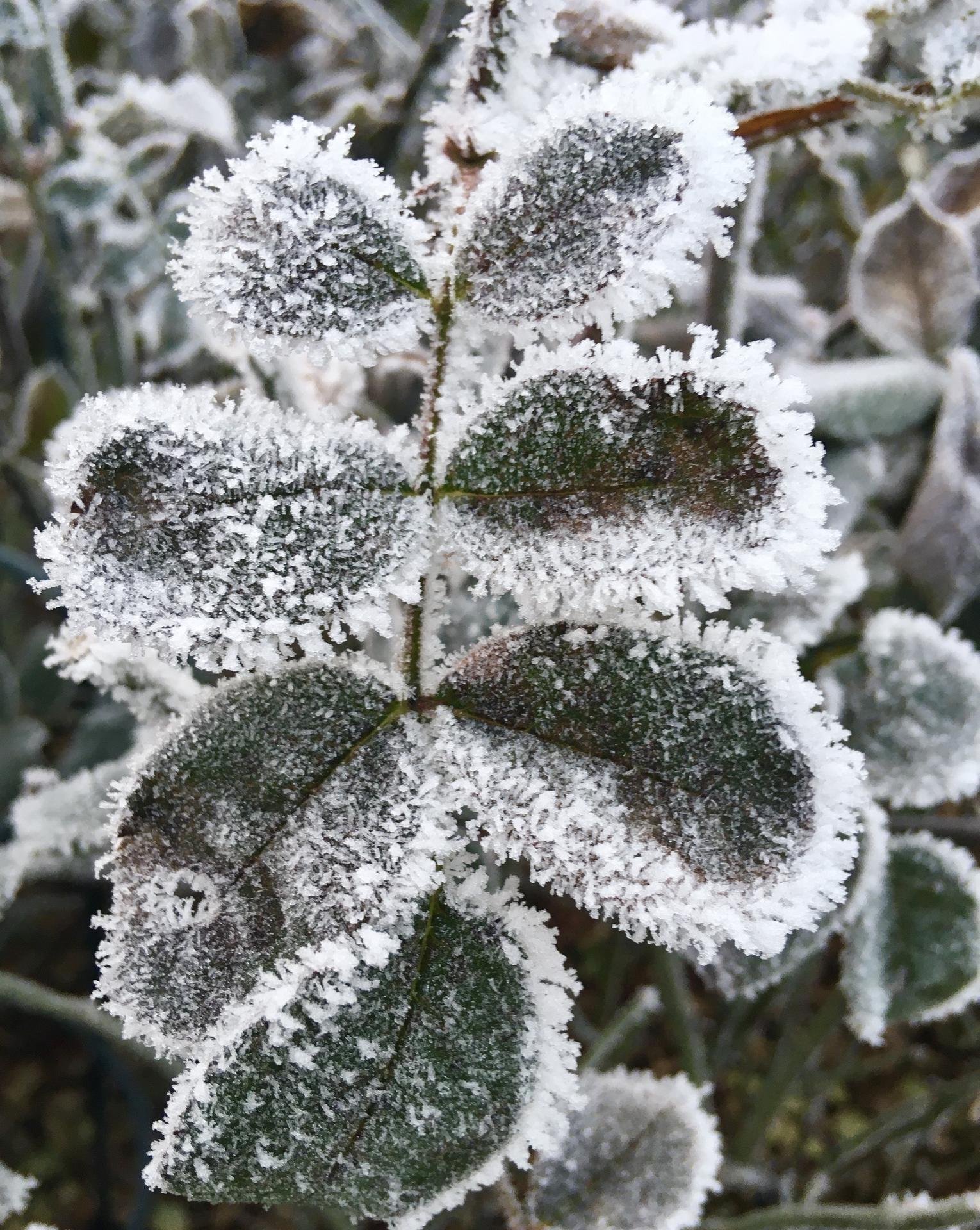Zahrada 2020 - Ruze Chippendale v zimni verzi 😊