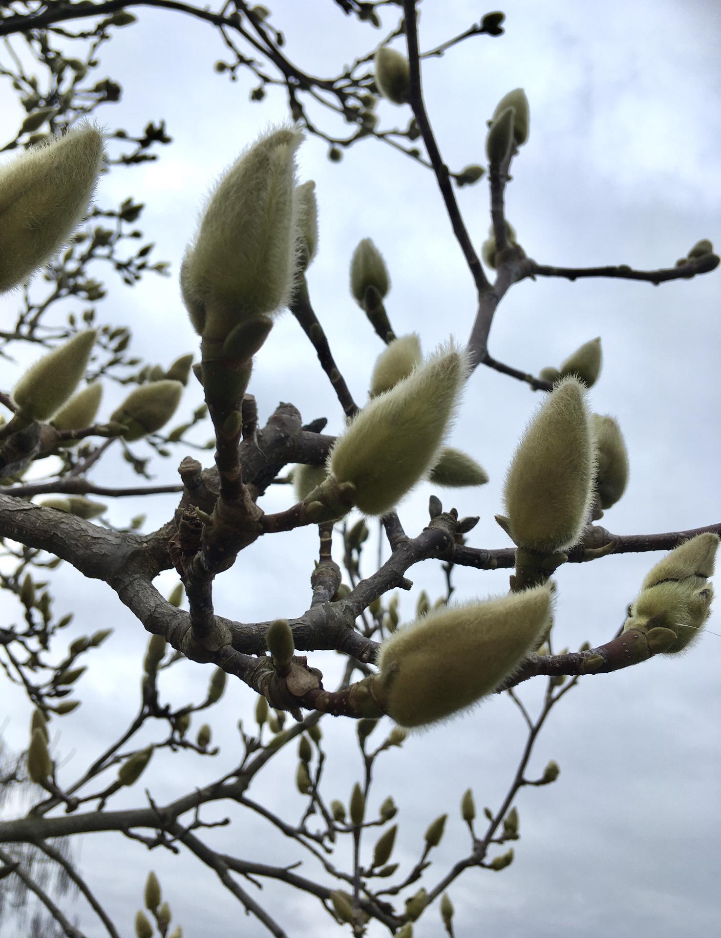 Zahrada 2020 - Magnolie- uz to vypada nadejne, ze letos poupata nepomrznou jako pred dvema lety pozdnimi mrazy- a zhruba za mesic by se mely zacit klubat prvni ruzove okvetni listky🤗