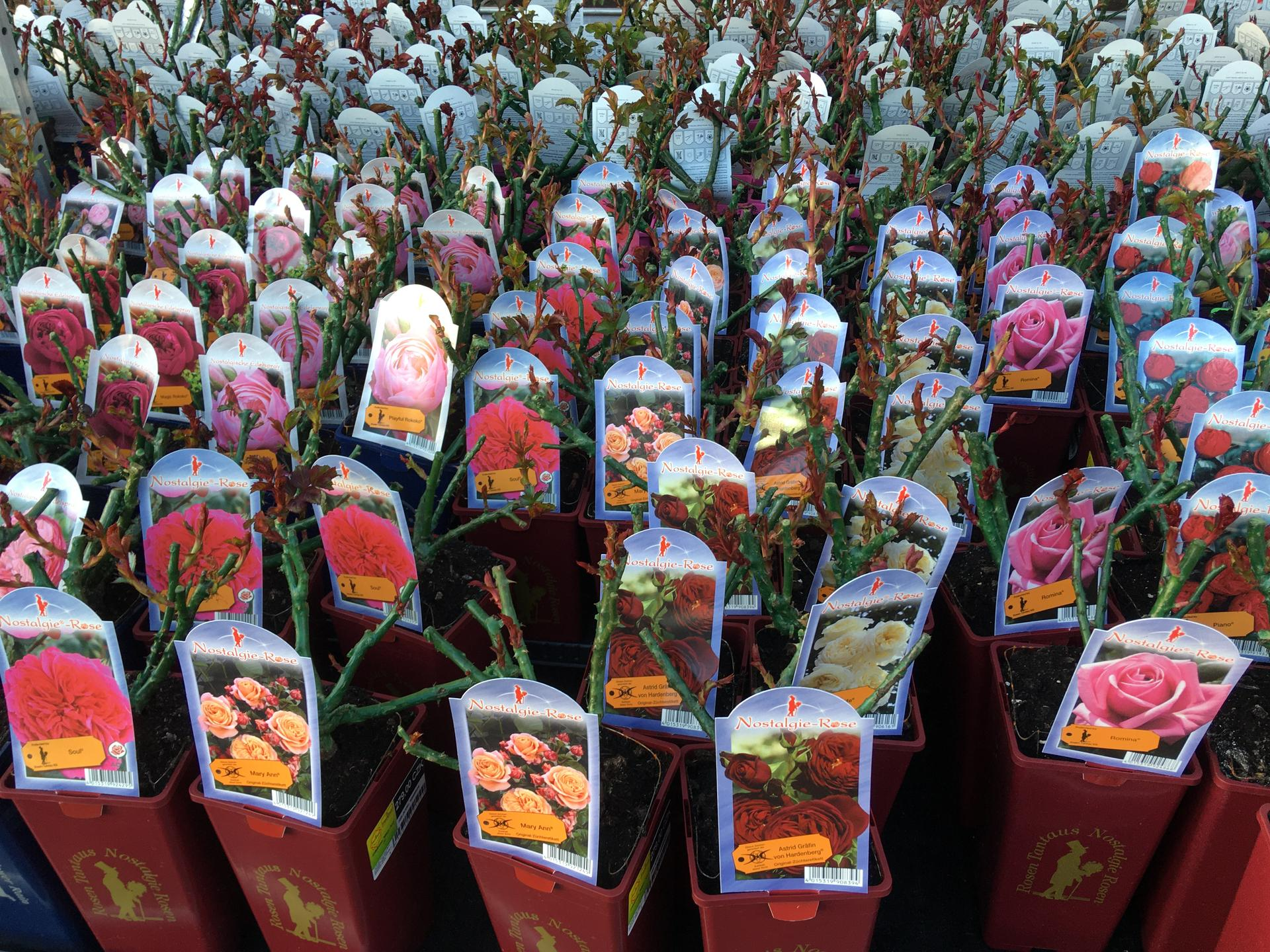 Zahrada 2020 - Hornbach dnes- uzasne pestra nabidka ruzi, hlavne od firmy Tantau! Ceny okolo 200,-