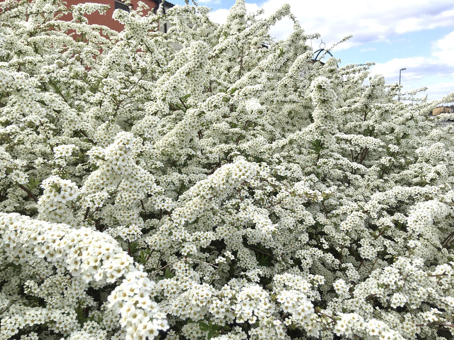 "Zahrada 2020 - tavolnik japonsky - spirea japonice ""Grefsheim"""