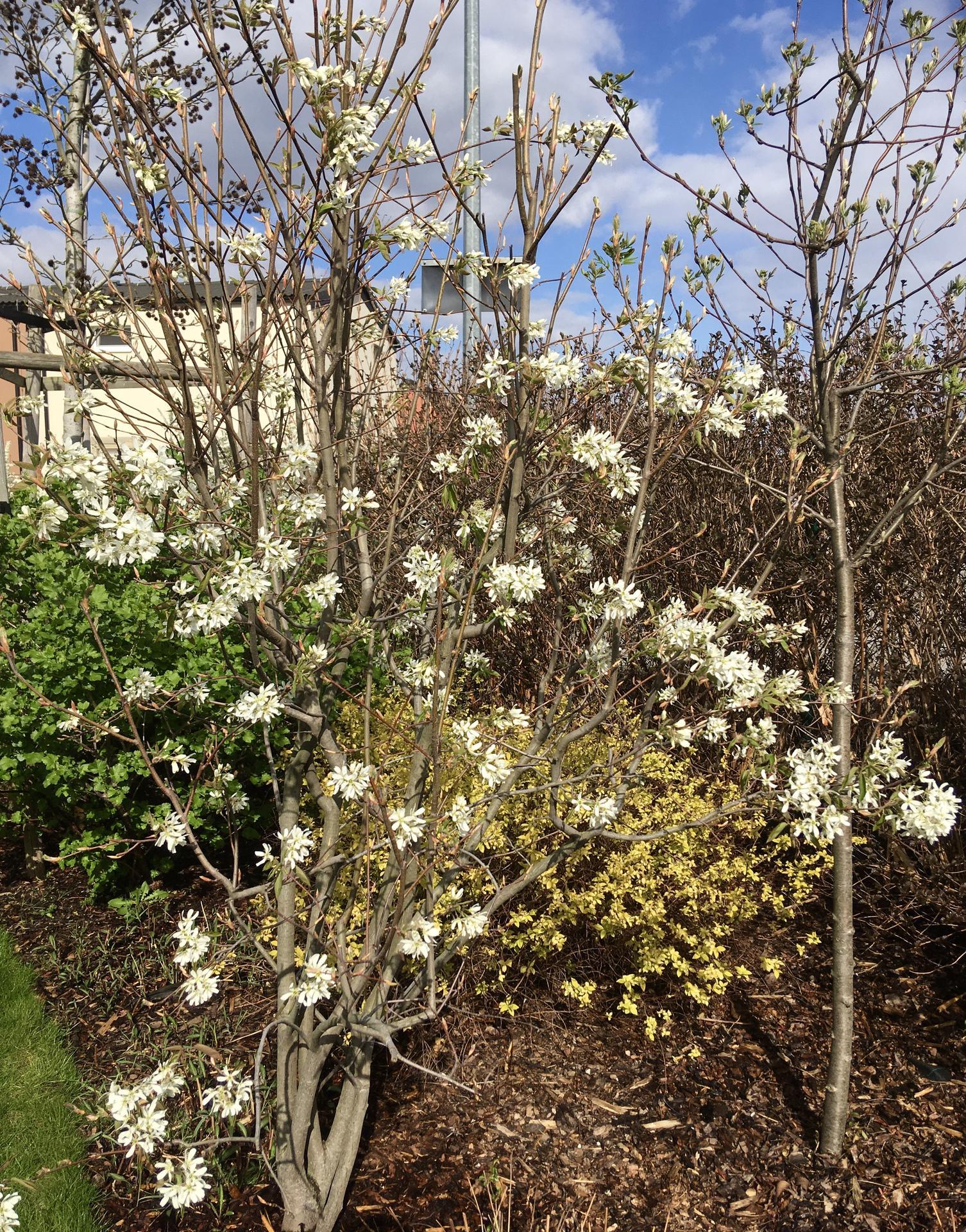 Zahrada 2020 - muchovnik v kvetu