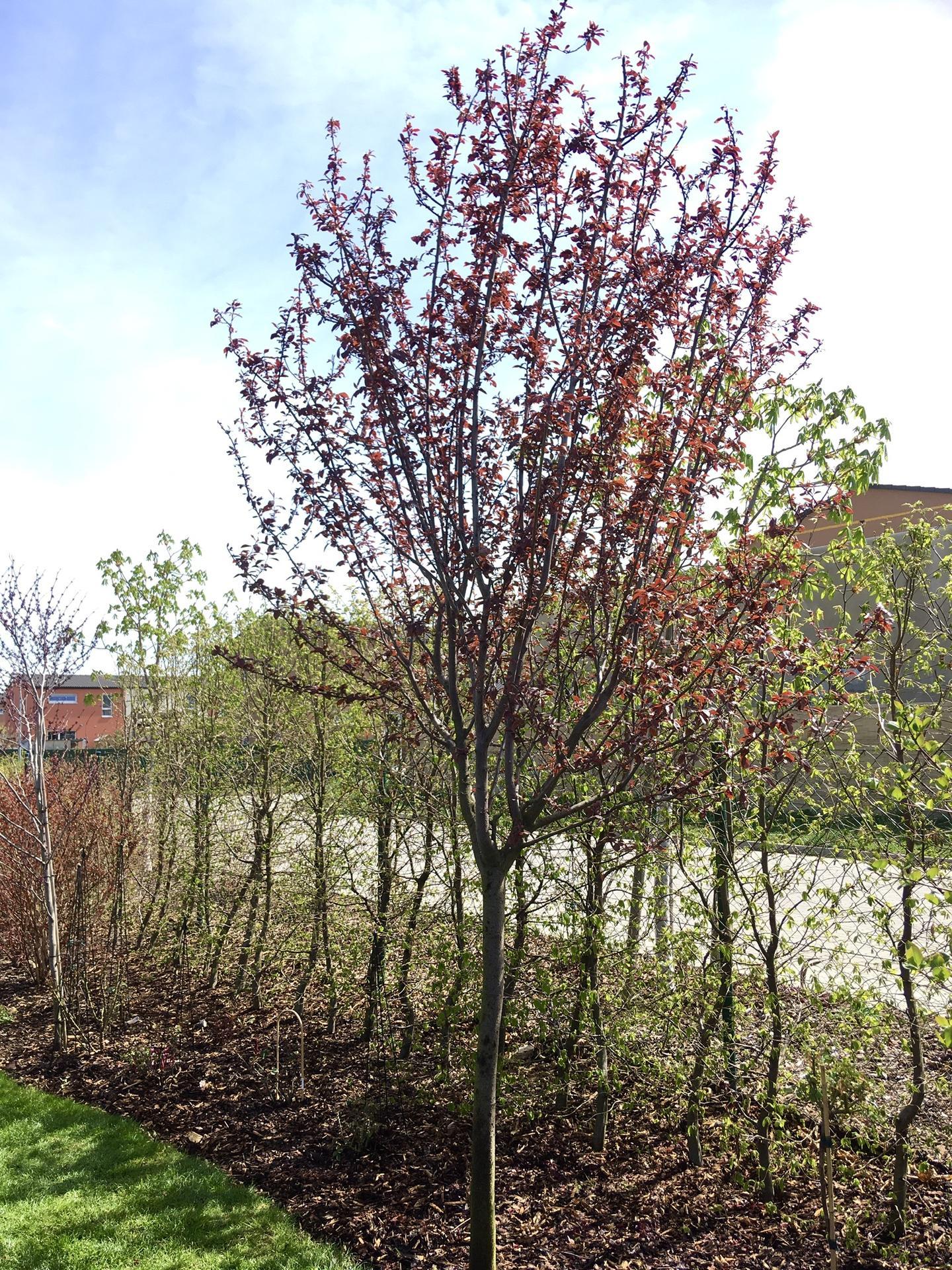 Zahrada 2020 - dneska ostrihany myrobalan