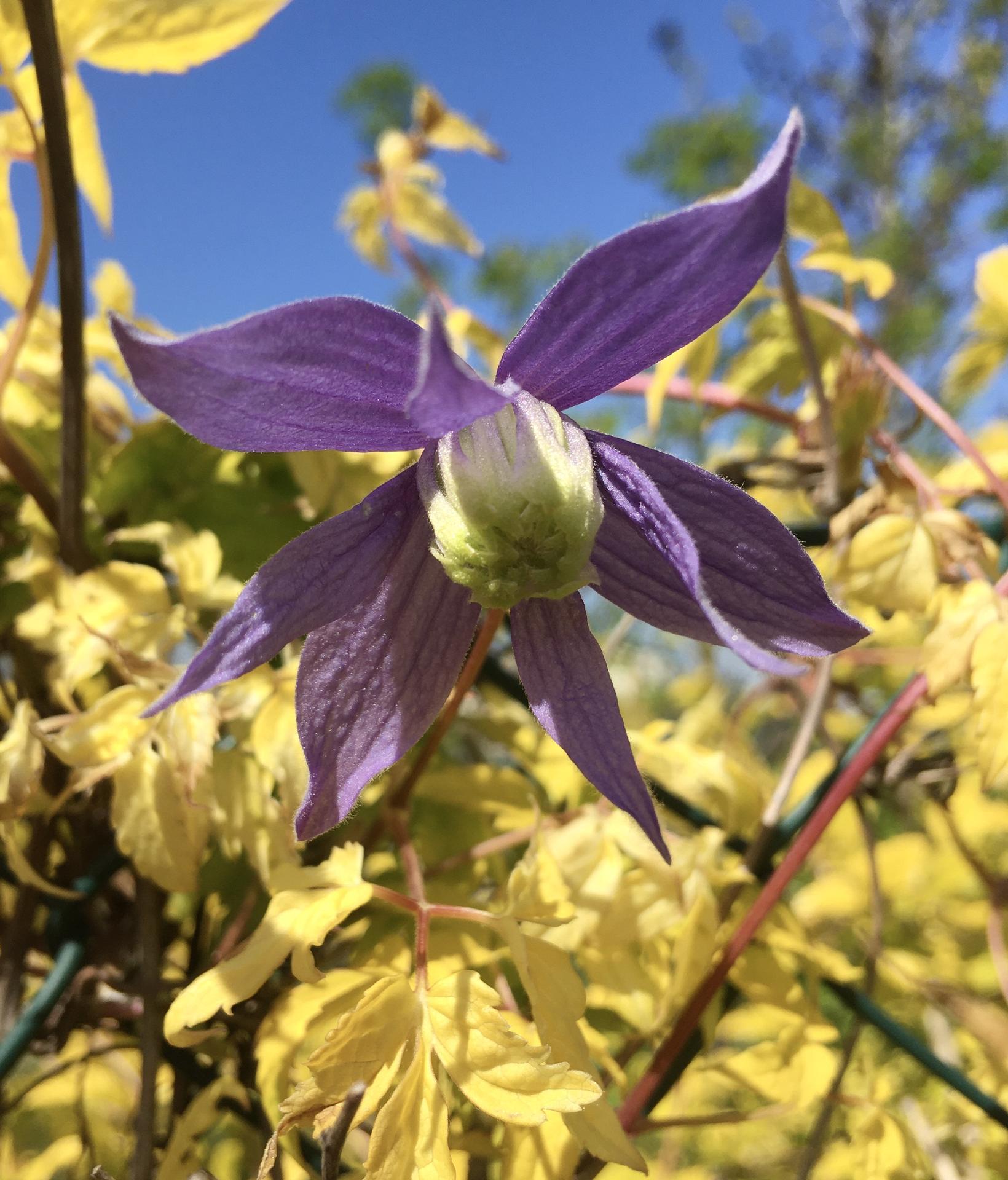 Zahrada 2020 - clematis alpsky.. takovy trochu zvlastni podivin,...