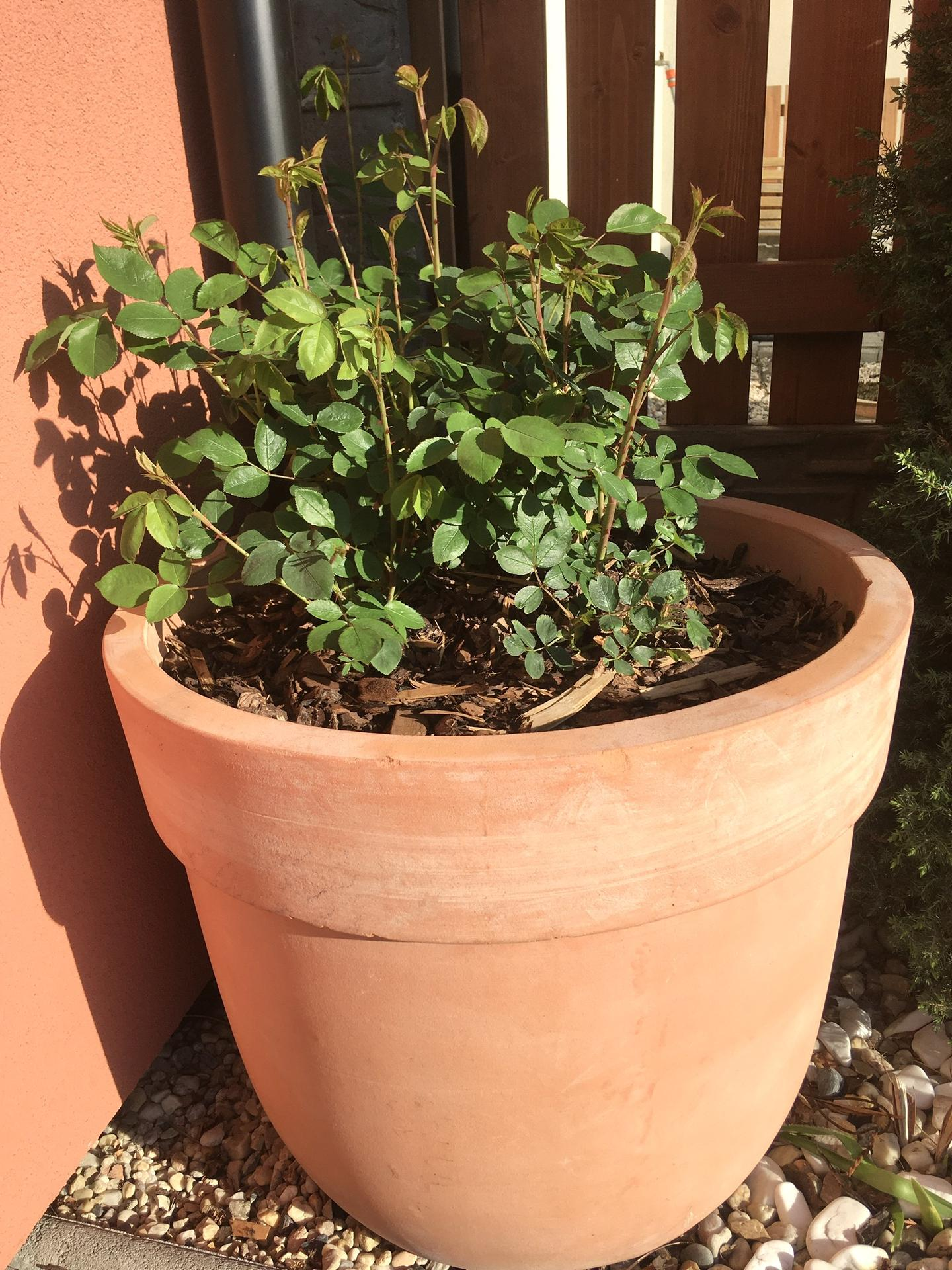 "Zahrada 2020 - "" vitaci ruze"" Thomas Becket"