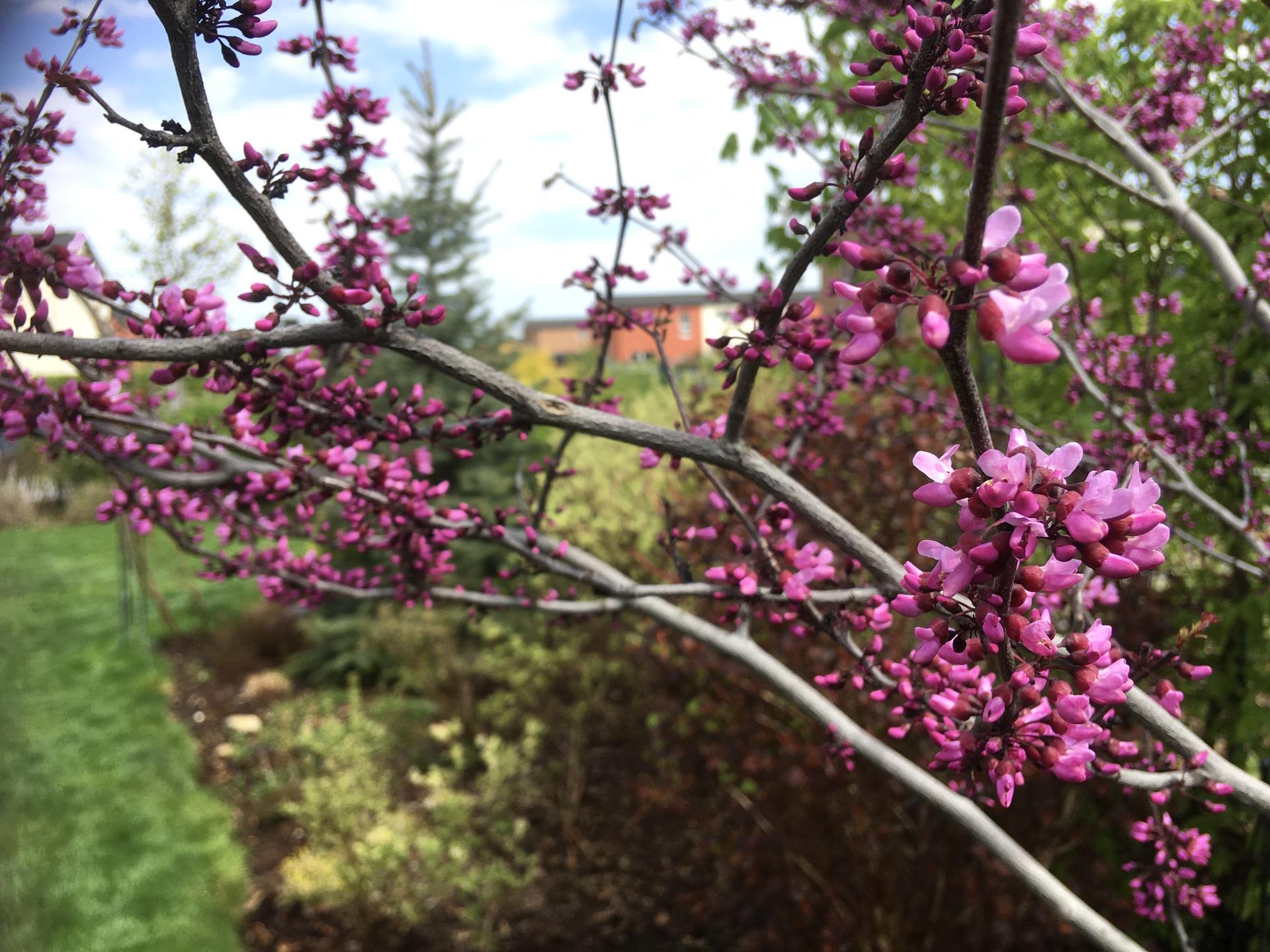 "Zahrada 2020 - zmarlika kanadska ""Merlot"""