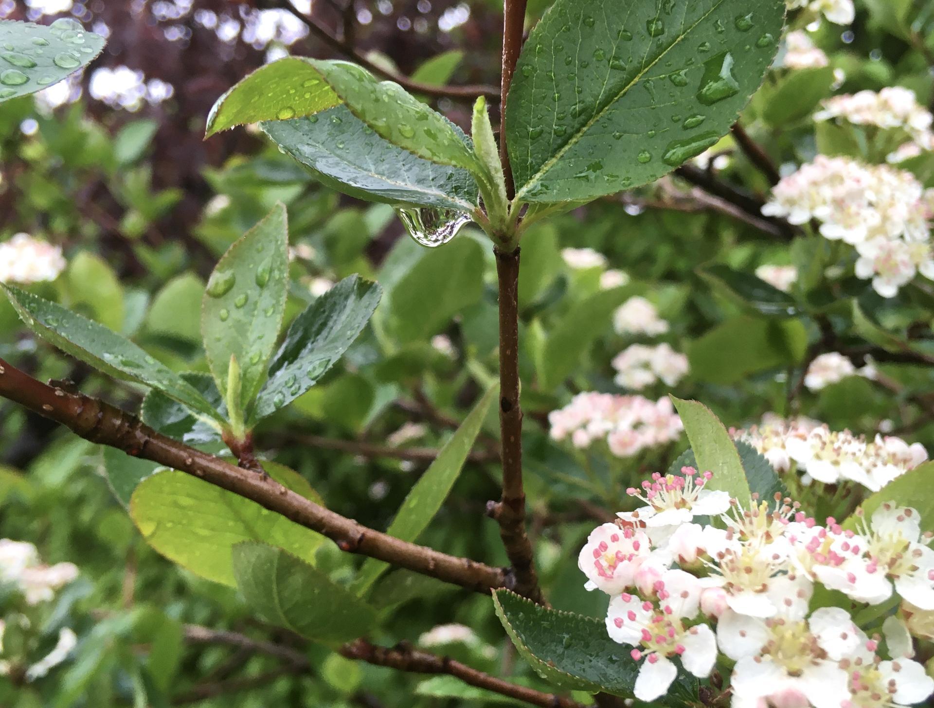 Zahrada 2020 - Konecne prsi 😃! Kapky deste na kvetouci aronii...