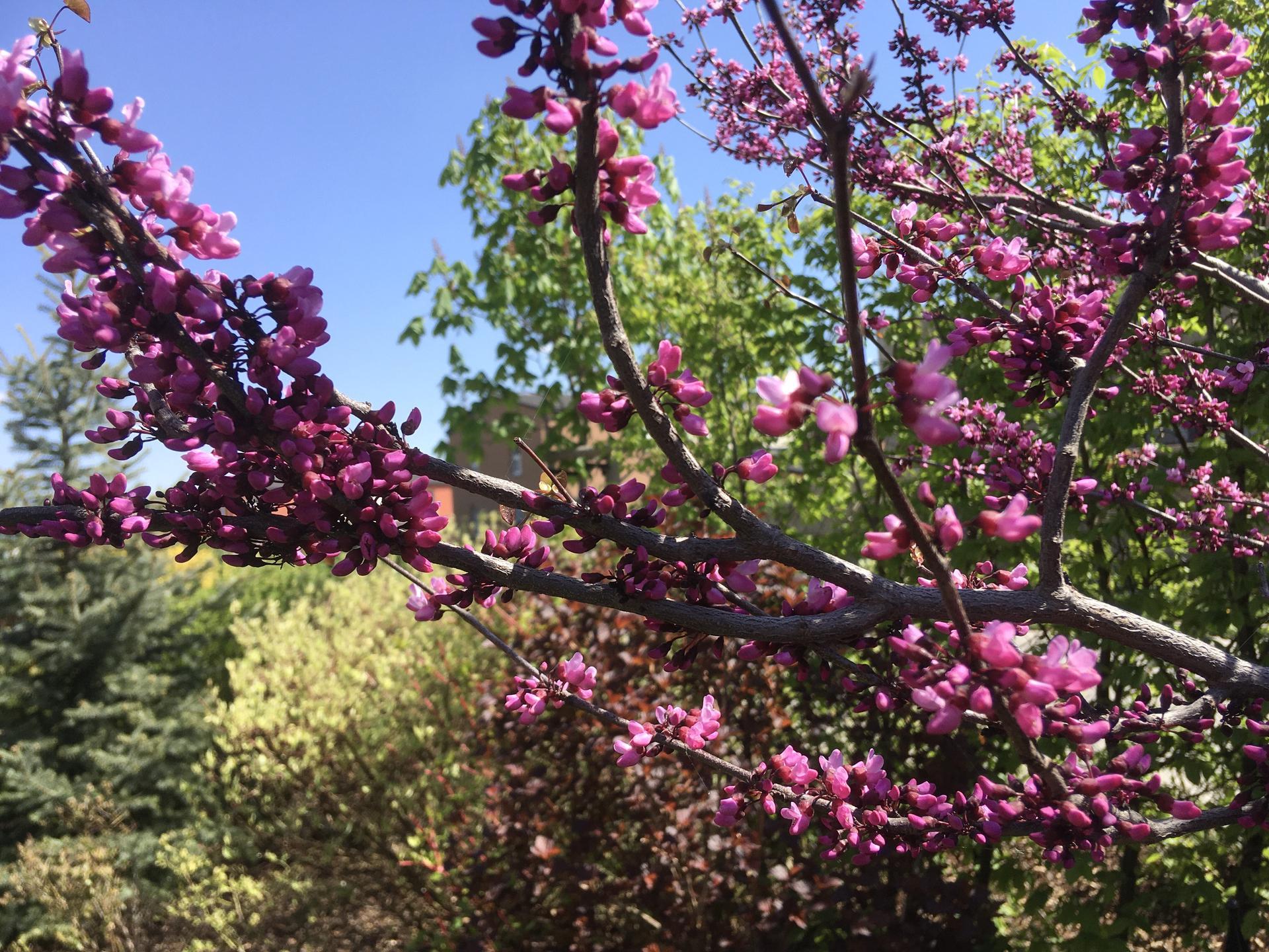 "Zahrada 2020 - zmarlika kanadska ( cercis canadensis) "" Merlot"""