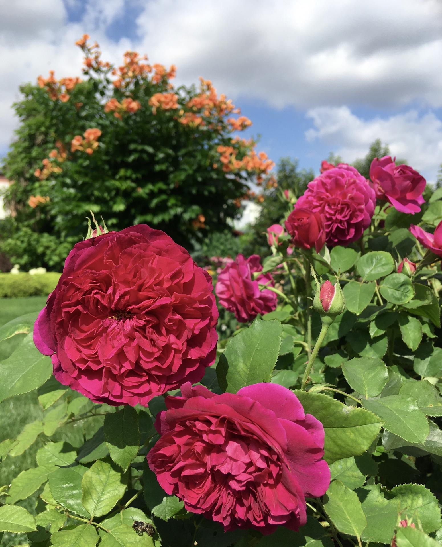 Zahrada 2020 - Munstead Wood a jeho druhe kveteni...