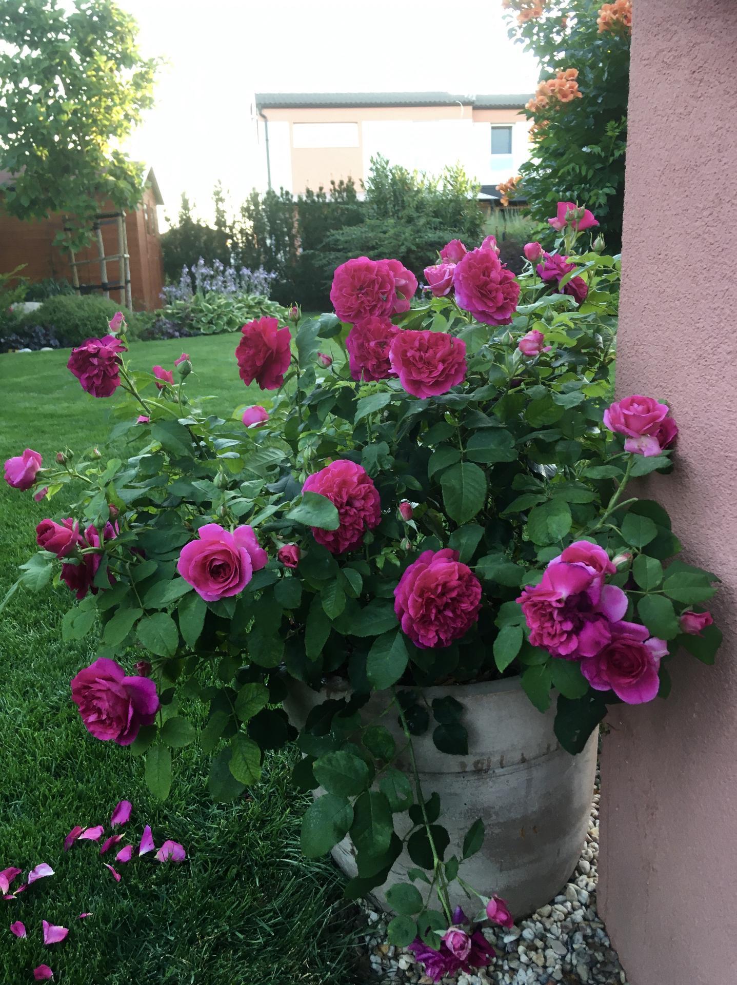 Zahrada 2020 - MunsteadWood v kvetinaci
