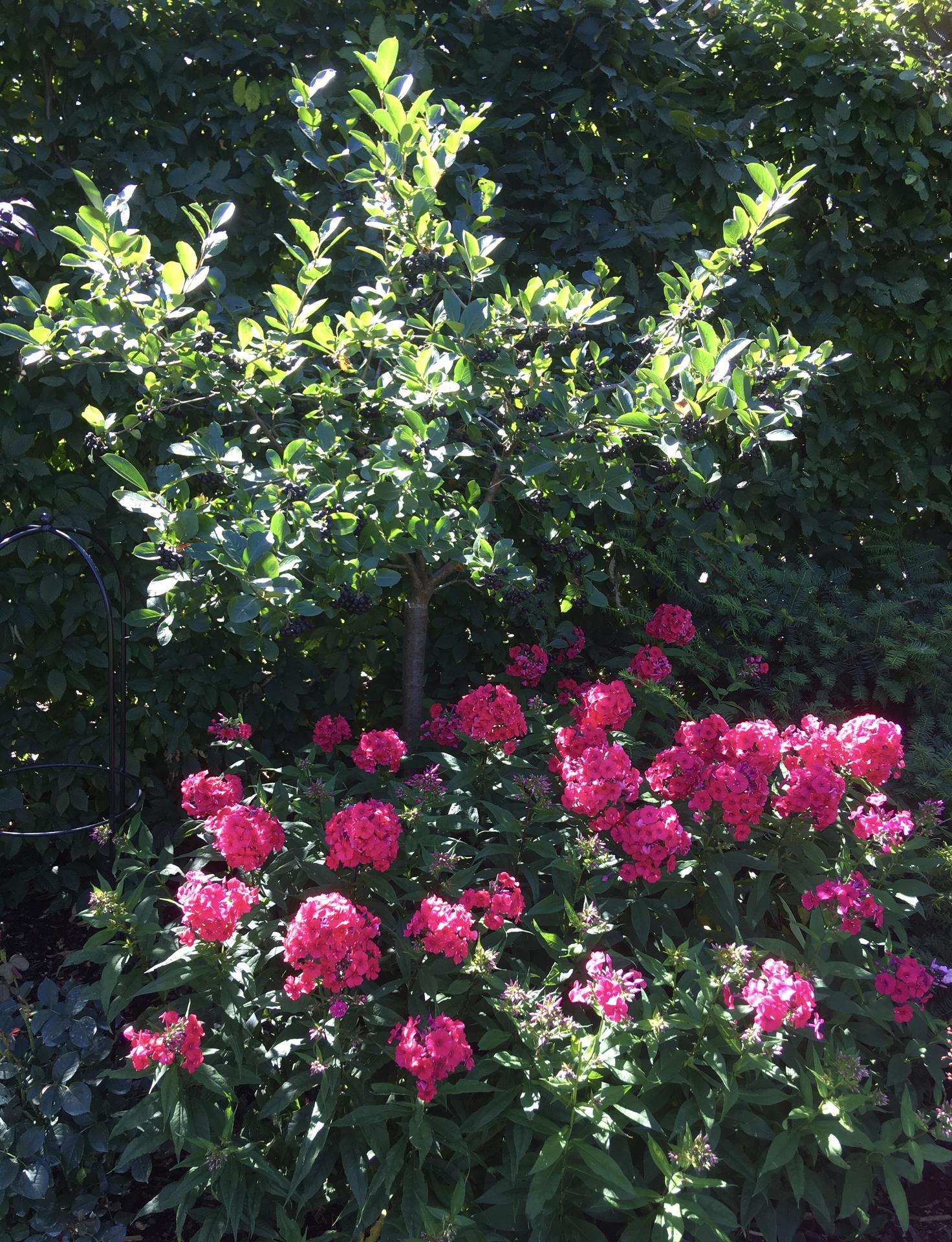 Zahrada 2020 - Jedno hejno floxu, dalsi jsou za plotem...