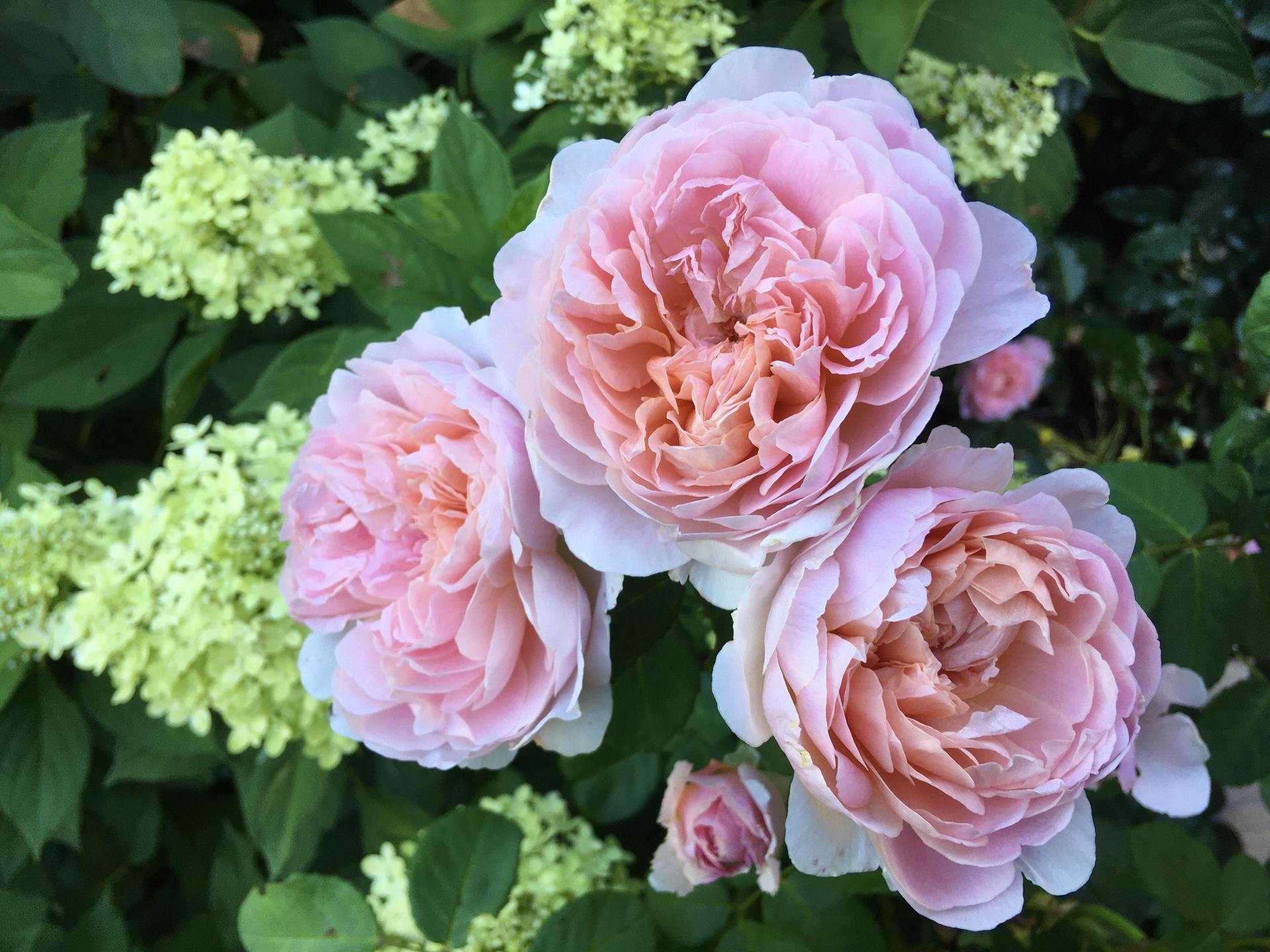 Zahrada 2020 - Eustacia Vye a hortenzi3 latnata Limelight