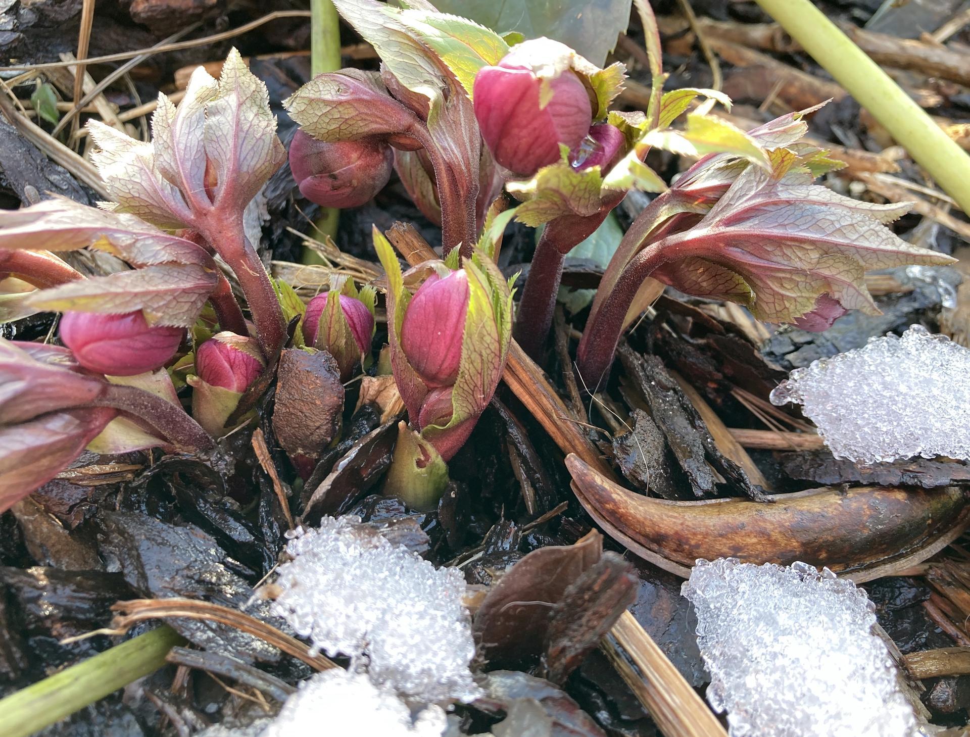 Zahrada 2021 - Cemerice ... prvni poslicek faktu, ze jaro uz se pomalinku chysta a ze BUDE 😃🥰!
