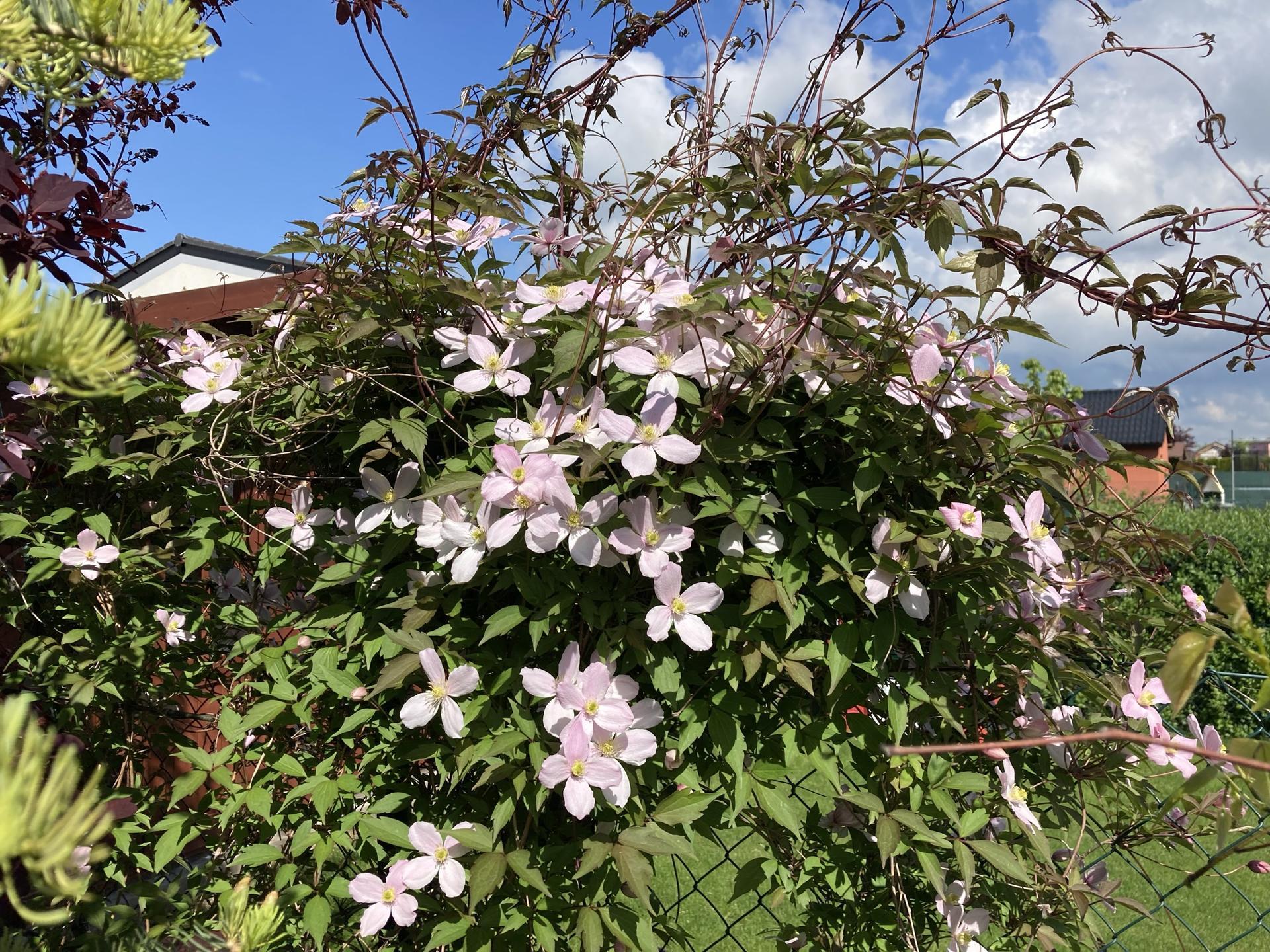 Zahrada 2021 - Klematis horsky poprve po drastickem presazeni a brutalnim orezani letos kvete. Loni mela snad jeden jediny kvitek...