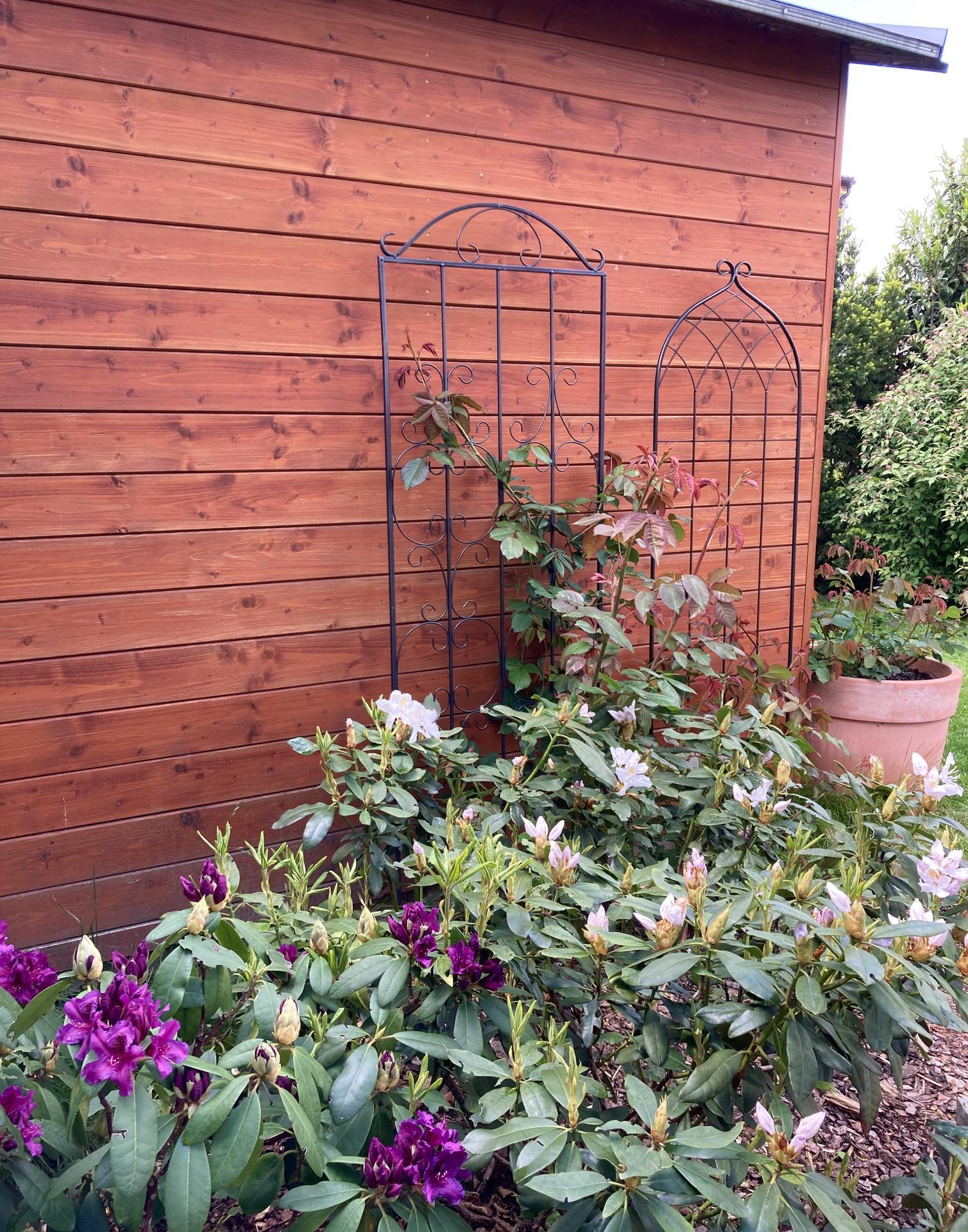Zahrada 2021 - Nova opora pro Shropshire Lad- bohuzel koupit stejnou se mi nedarilo uz pul roku, tak jsem nad tim zlomila hul a je holt proste trochu jina a mensi...