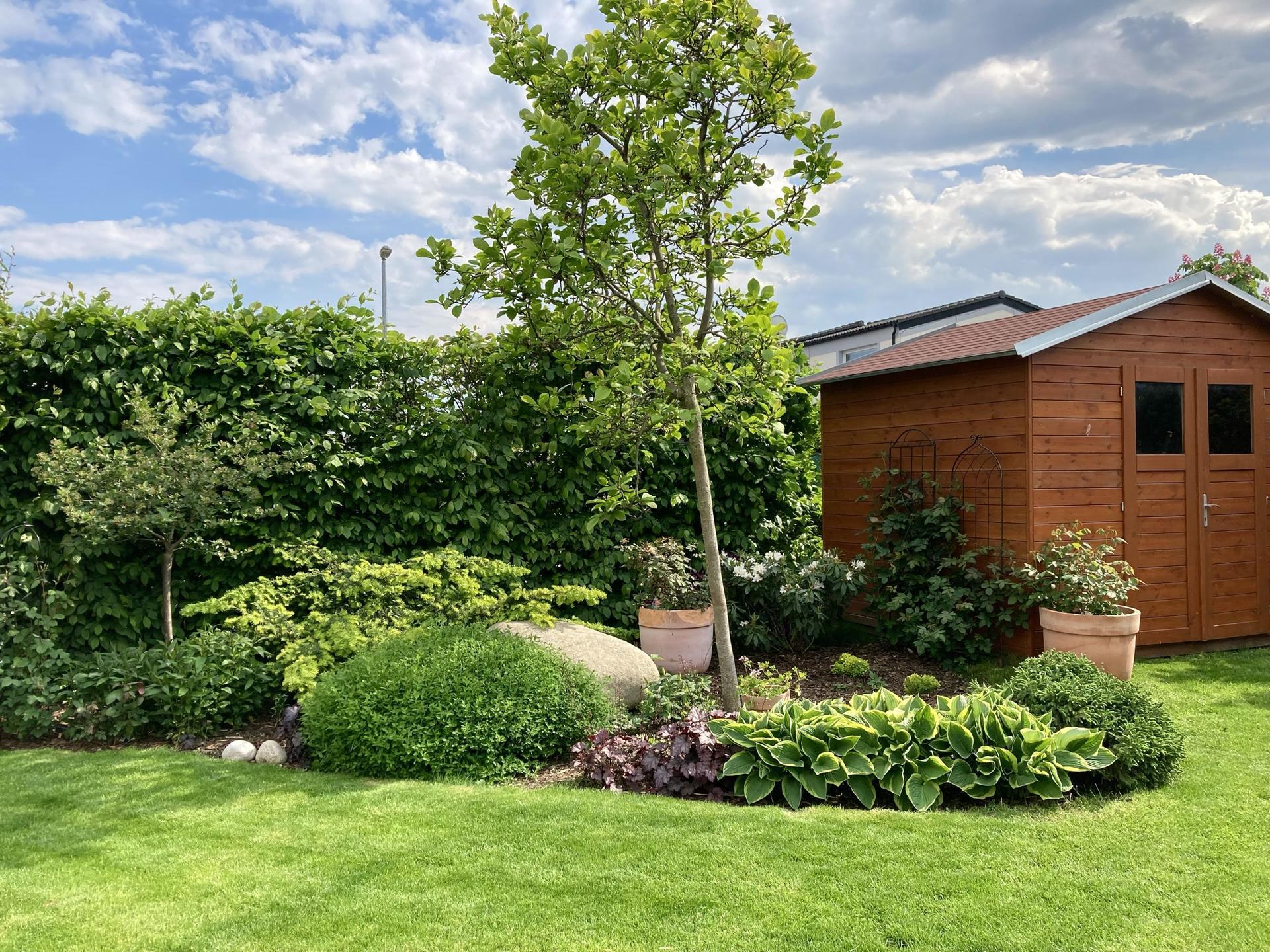 Zahrada 2021 - Magnolie konecne bez podper- po 6 letech! Je nahnuta vlivem vetru, tak snad nam ji prvni vichr nevyvrati....